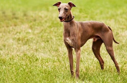Büyük İhtimalle Daha Önce Görmediğiniz Köpek Cinsleri