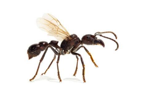 Mermi Karıncalar Ne Kadar Tehlikelidirler?