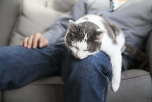 Sahibinin kucağında uyuyan bir kedi.