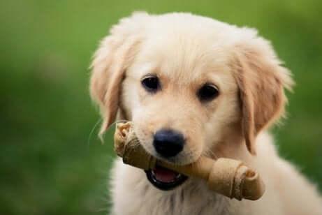 ağzında kemik olan yavru köpek