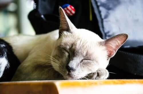 sahibinin yanında uyuyan kedi