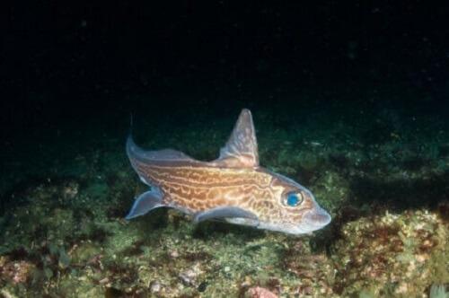 Bir kimera balığı.
