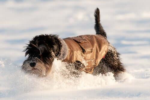 Karların içerisinde oynayan bir köpek.