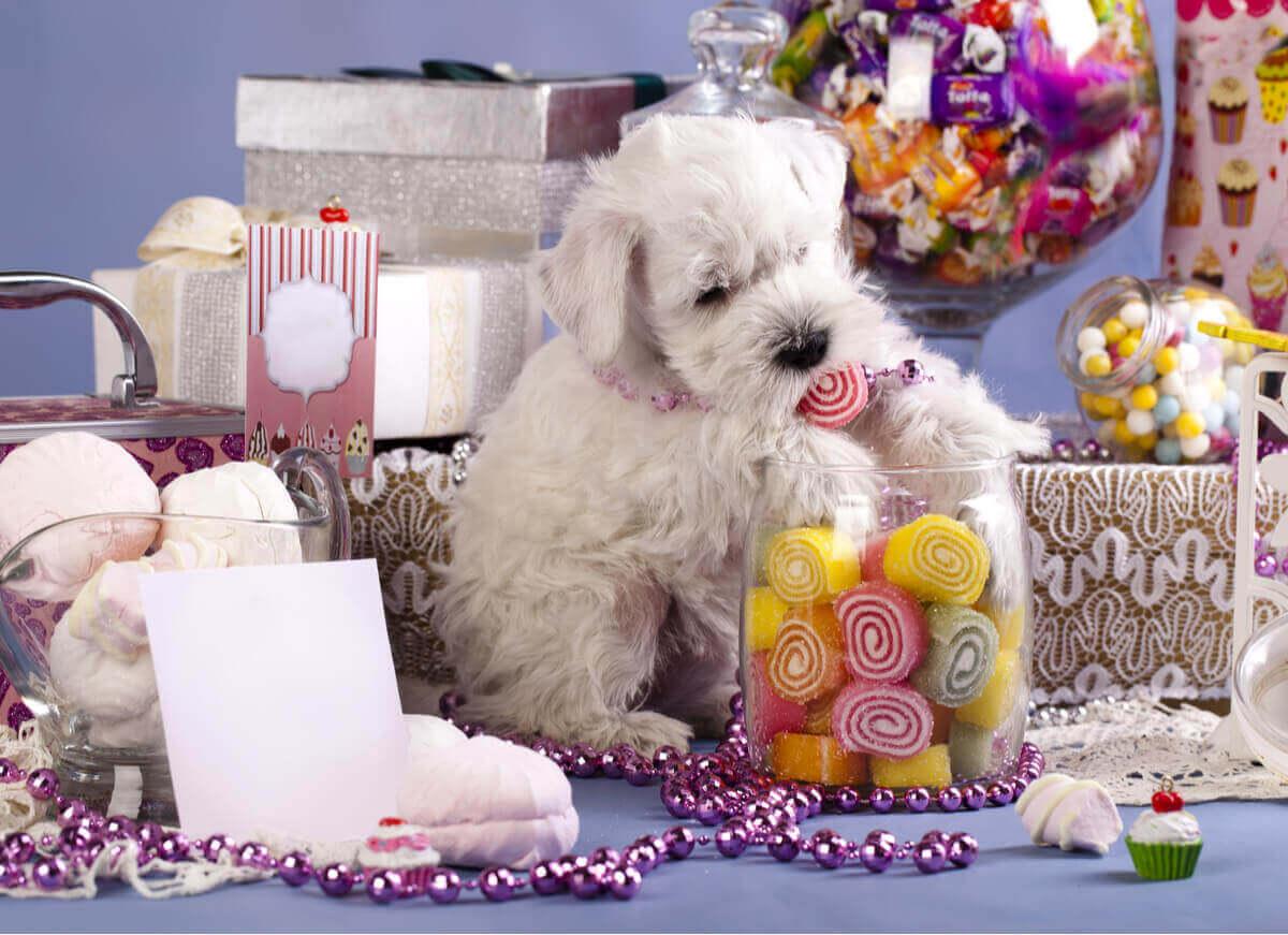 şeker yiyen köpek