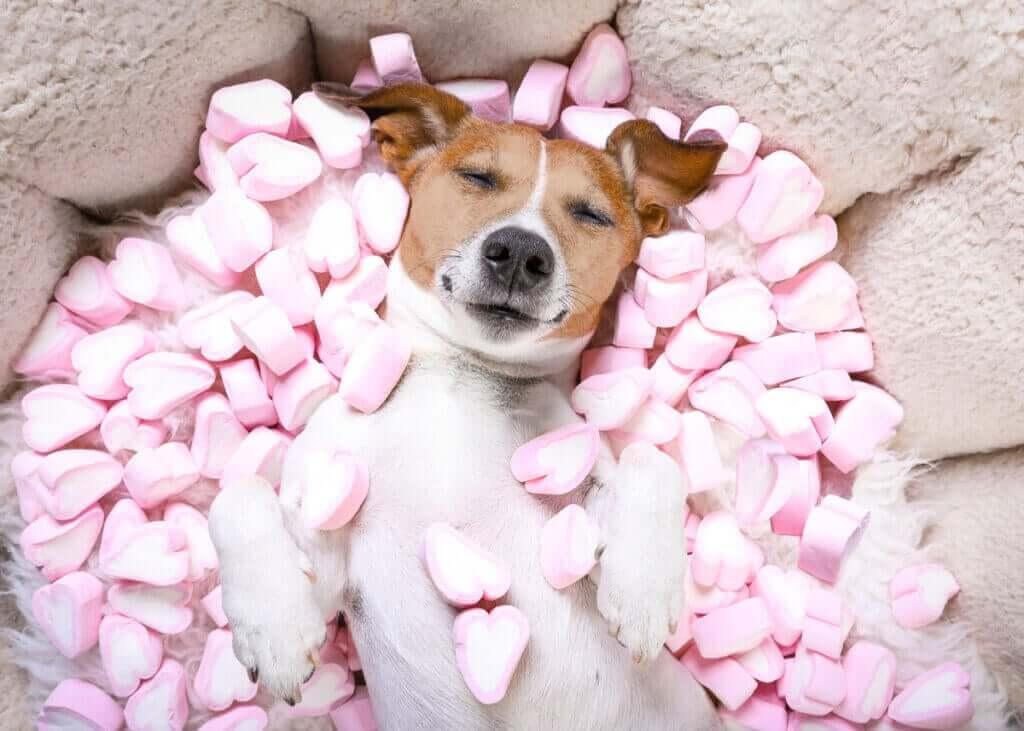 Köpeklerin Tatlı Yemesi Zararlı Mıdır?