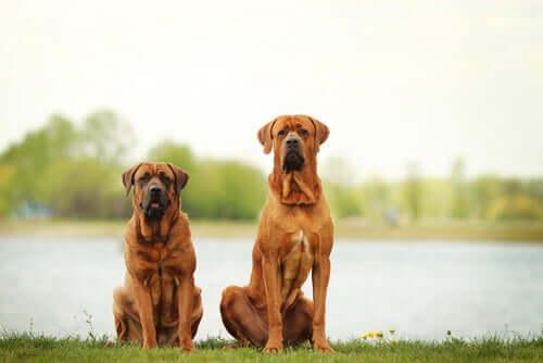 Yan yana, birbirlerine çok benzeyen iki köpek.