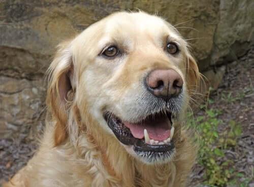 Bir Köpeğin Bıyıkları Neden Önemlidir?