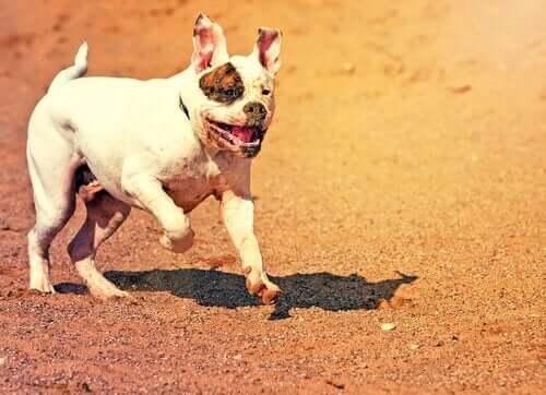 koşan bir amerikan bulldog