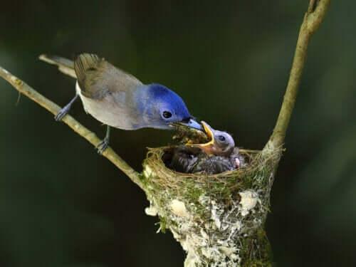 yavrusunu besleyen kuş ve yuvası ve Matriphagy