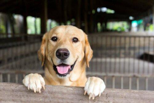 Mutlu bir labrador retriever.
