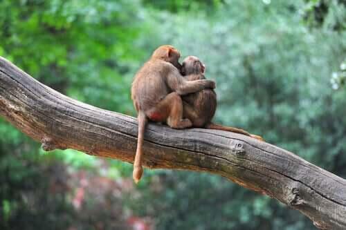 ağaç üstünde sarılan iki maymun