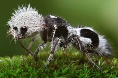 Panda Karıncası: Eşek Arısına Dönüşen Savaşçı Karınca