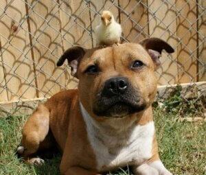 Bir pitbull ve üzerinde civciv