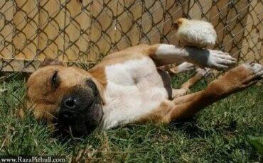 Bir Pitbull ve Civcivleri: Şaşırtıcı Bir Arkadaşlık