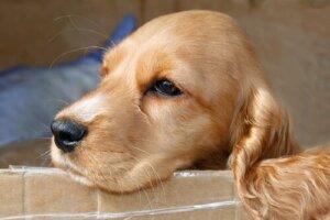 Sarı bir köpek