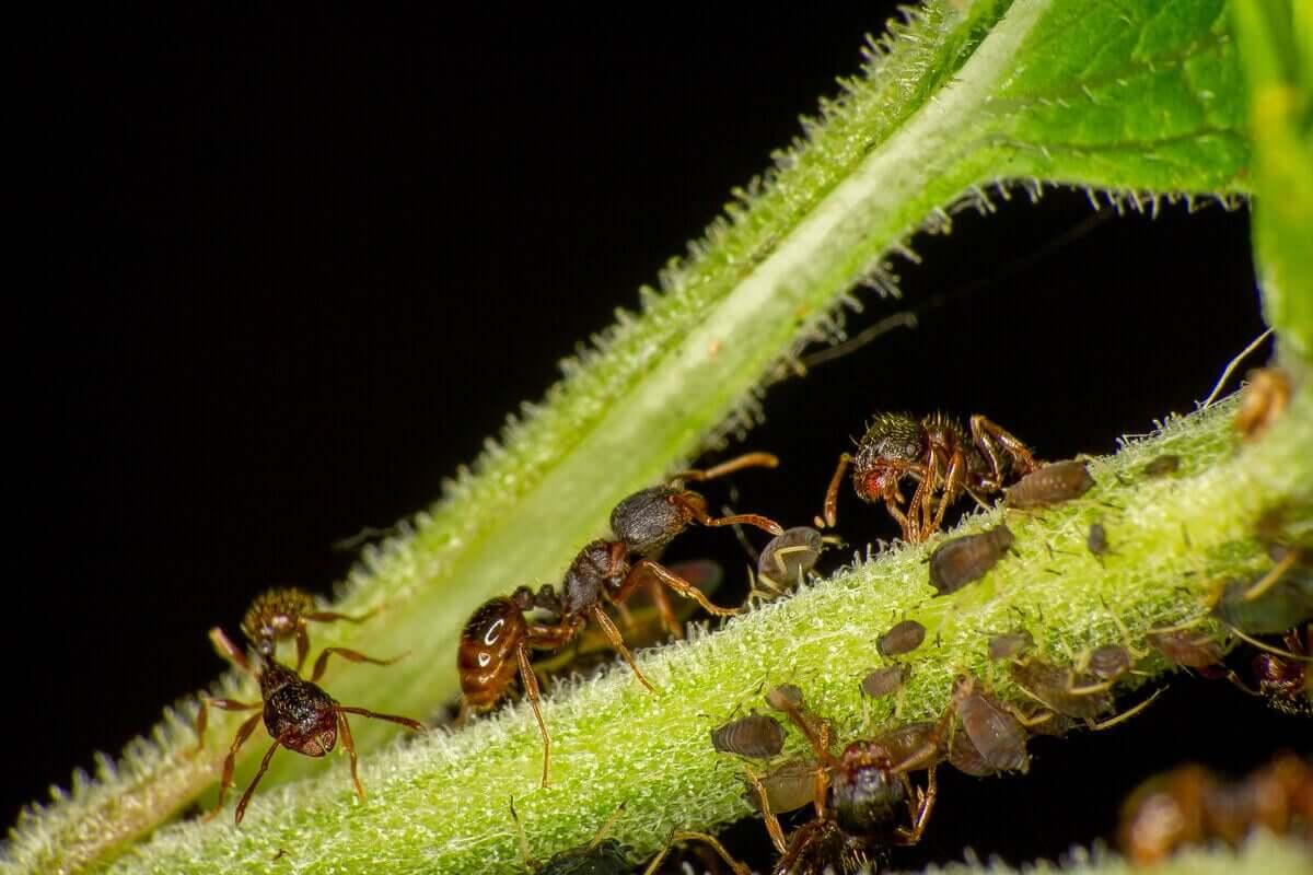Tetramonium türünden bazı karıncalar.
