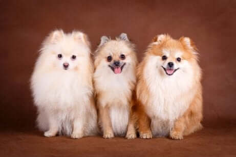 üç küçük köpek