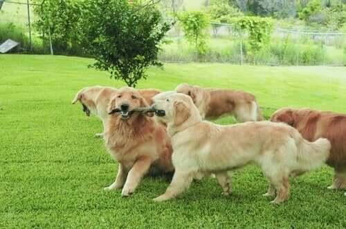 Uygunsuz üste çıkma davranışı gösterme riski olan köpekler.