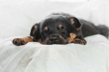 Uyku ve Dinlenmek Köpeğiniz İçin Neden Bu Kadar Önemlidir?