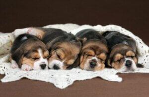 Uzanan dört köpek yavrusu