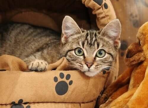 Kedinizi Kendi Yatağında Uyuması İçin Nasıl Eğitirsiniz?