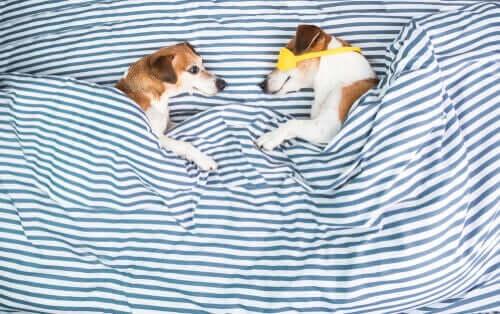 Köpekler Neden Yatakları Tırmalar?