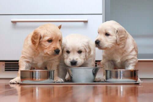 yavru köpekler mama yiyor ve evcil hayvanlarda beslenme