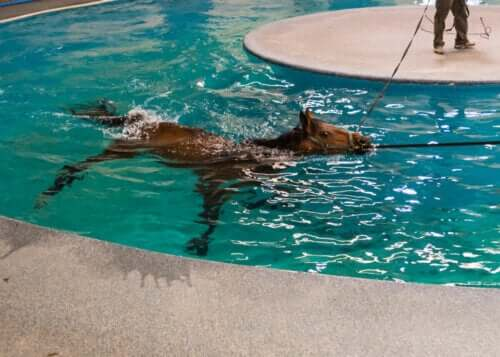 Havuzda yüzen at ve fizyoterapi