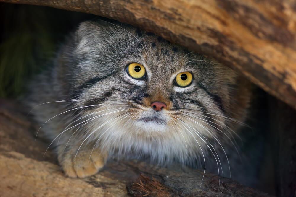 pallas kedisi, vahşi kedi türleri