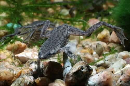 Afrika Cüce Kurbağası Bakımı Hakkındaki Her Şey