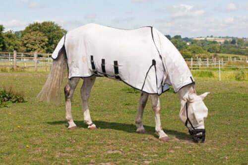 Atlarda arpalama olarak da bilinen Laminitis.