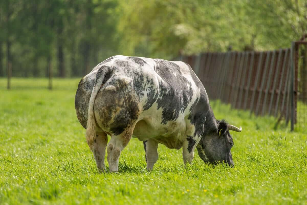 Belçika mavisi, sığır türleri, büyük kas kütlesi