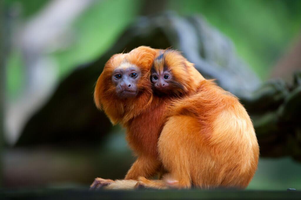Tehditler ve Mucizeler Arasında: Altın Aslan Maymunu Tamarinler