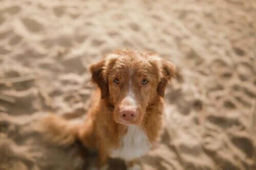 Köpeklerde Lupus: Nedenleri ve Belirtileri