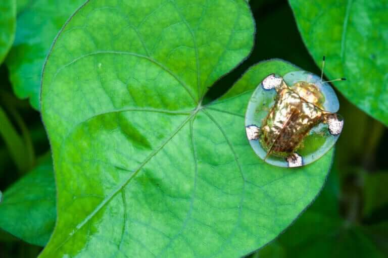 Altın Kalkanböceği İle Tanışın