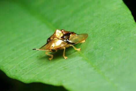 altın kalkanböceği yaprak üzerinde