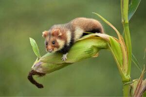 Bir hamster