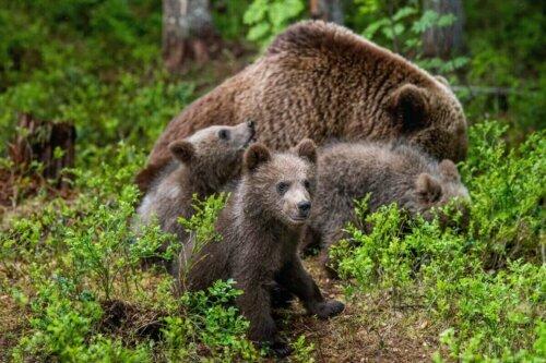 Bir ayı ailesi.