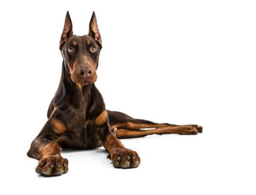 En İyi Yedi Bekçi Köpeği Irkını Keşfedin