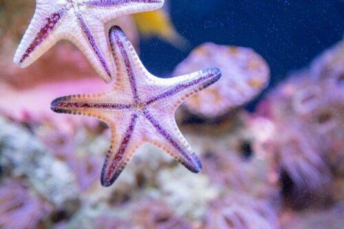 Yan yana duran iki beyaz deniz yıldızı.