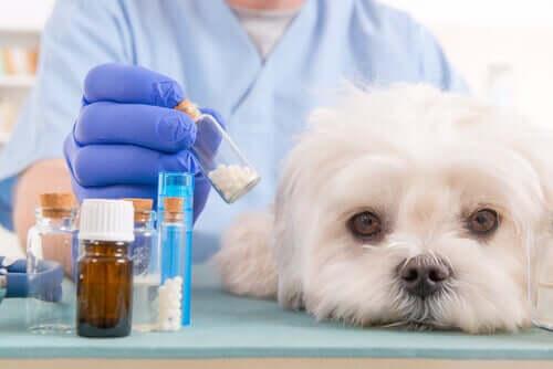 ilaca bakan köpek ve köpeklerde antihistamin kullanımı
