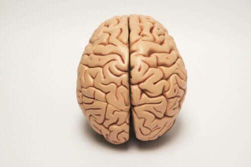 beyin görseli ve hayvanlarda yanallık