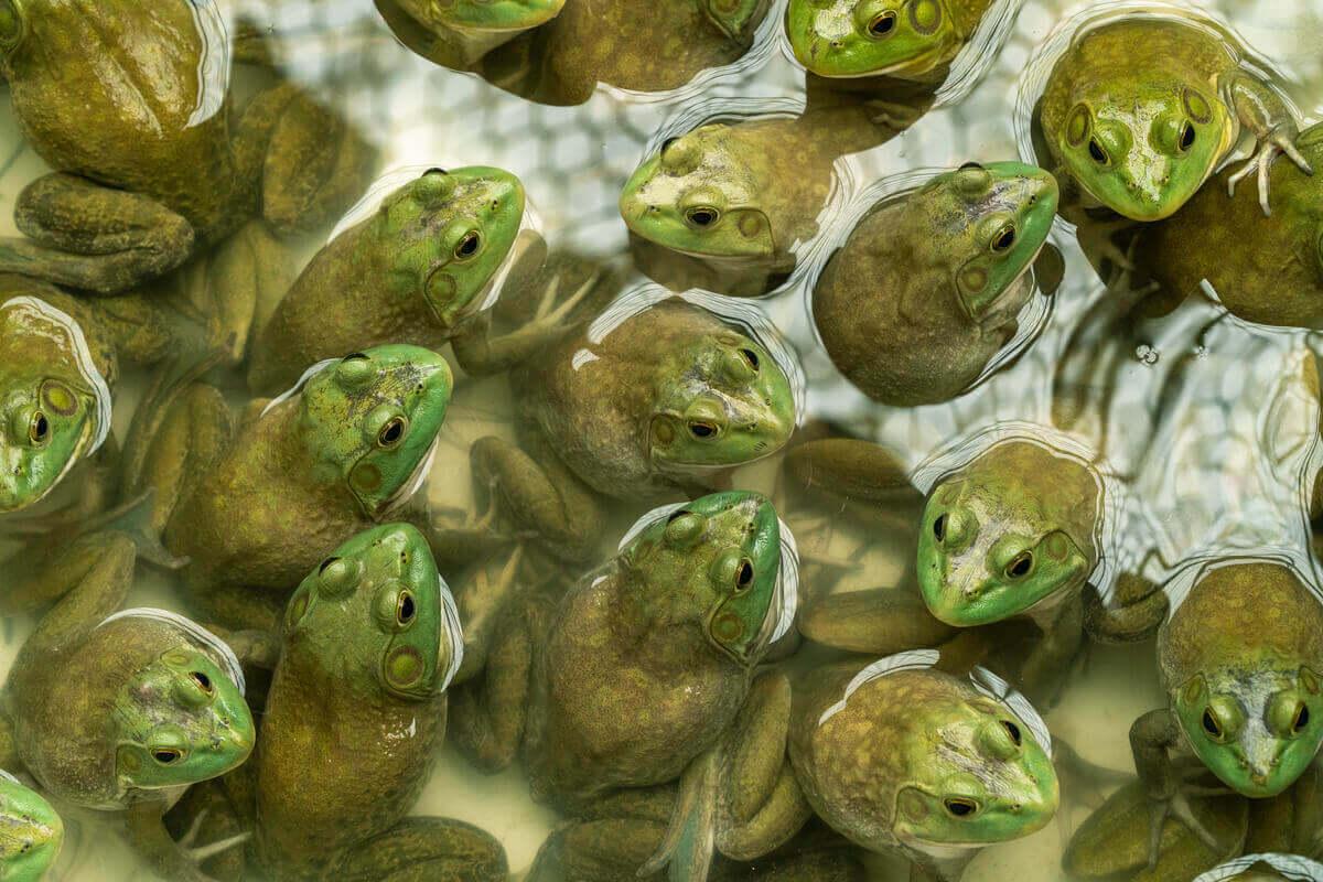 Bir boğa kurbağası havuzu