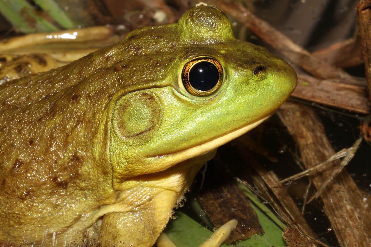 Bir boğa kurbağası