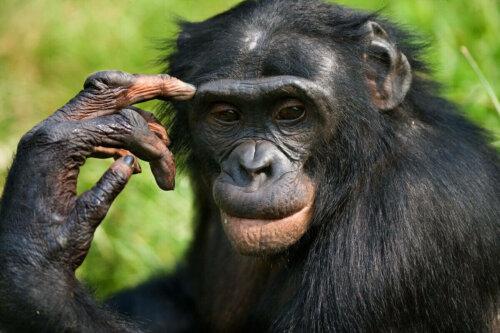 Düşünceli görünen bir bonobo.