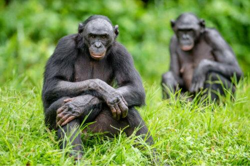 Şempanzeler İle Bonobolar Arasındaki 5 Fark