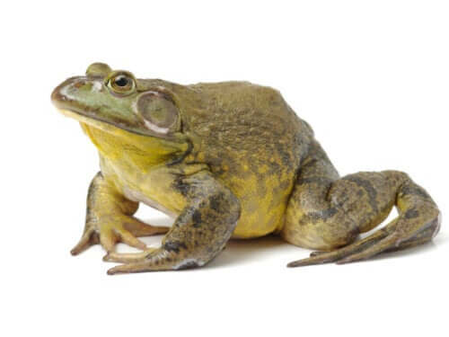 Boğa Kurbağası: Neden Evcil Hayvan Olmaya Uygun Değil?