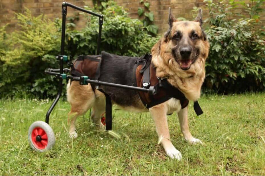 Köpeklerde Görülen Otoimmün Hastalıklar Hakkında Bilmeniz Gerekenler