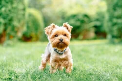 Küçük Köpek Cinslerinde Dört Yaygın Sağlık Problemi