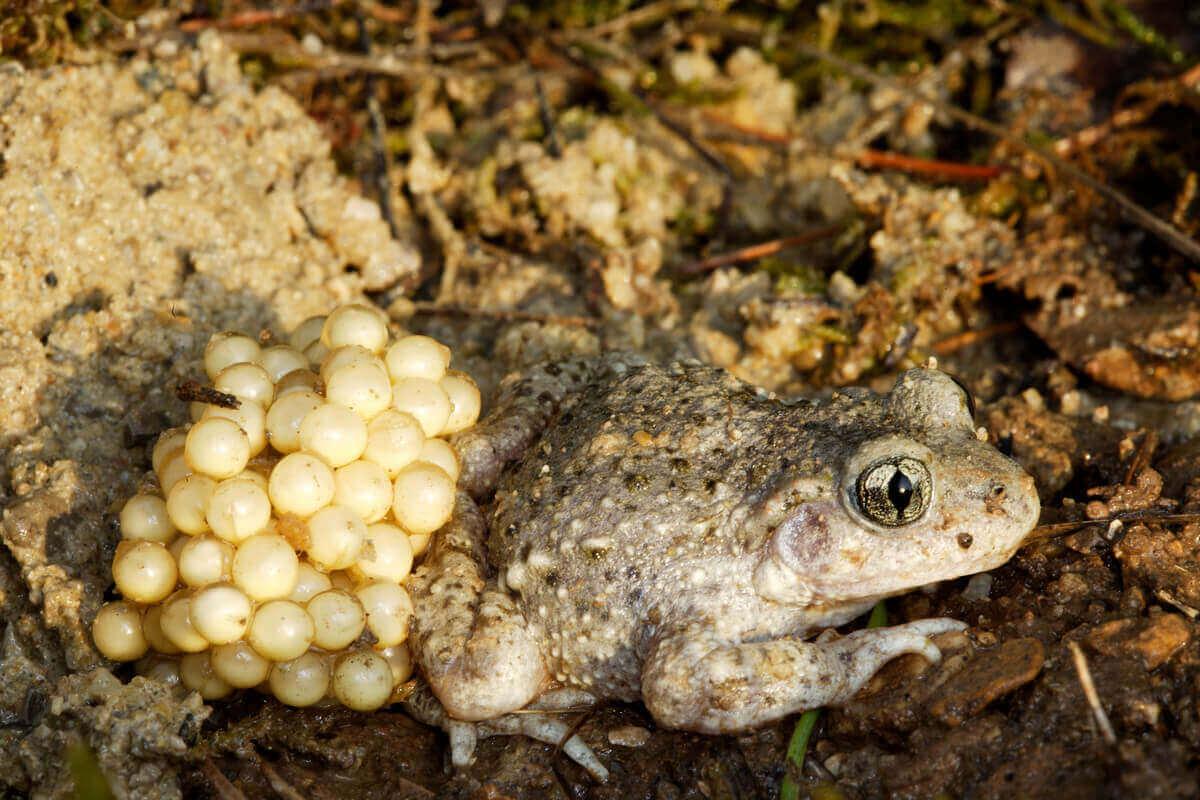 Kurbağalar, yumurtlama dönemleri, iribaşlar